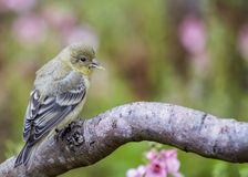 Lesser Goldfinch Stock Photography