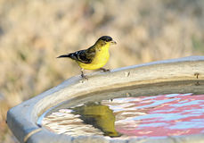 Lesser Goldfinch with Reflection Stock Photo