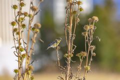 Lesser Goldfinch a repéré sur un arbuste à Salt Lake images libres de droits