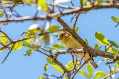 Lesser Goldfinch Resting op Live Oak Branch stock foto's