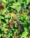 Lesser Goldfinch sätta sig på att äta för filial Royaltyfri Fotografi