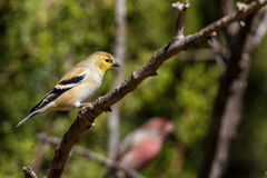 Lesser Goldfinch Royalty Free Stock Photo