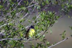 Lesser Goldfinch, Spinus psaltria Stock Photos