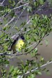 Lesser Goldfinch, Spinus psaltria Stock Images