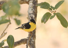 Lesser Goldfinch (Spinus psaltria) Royalty Free Stock Images