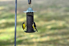 Lesser Goldfinch on Thistle Feeder Stock Photos
