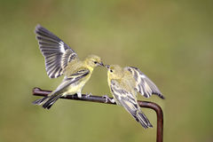 Lesser Goldfinches Stock Photography