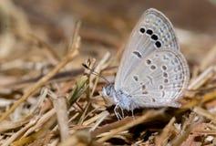 Lesser Grass Blue Butterfly images libres de droits