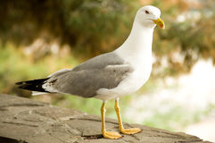 Lesser gray-backed Gull Stock Photos