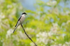 Lesser Gray Shrike & x28; Minor& x29 do Lanius; Imagem de Stock Royalty Free