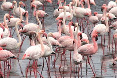 Lesser and Greater Flamingoes Royalty Free Stock Image
