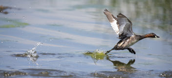 Lesser Grebe running on a pond to escape danger Royalty Free Stock Images