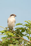 Lesser Grey Shrike Royalty Free Stock Photo