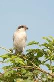 Lesser Grey Shrike. Juvenile / Lanius minor Royalty Free Stock Photo