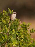 Lesser Grey Shrike Royalty Free Stock Image