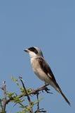Lesser Grey Shrike. Lanius minor stock photos