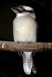 Lesser Grey Shrike bird Royalty Free Stock Photo