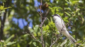 Lesser Grey Shrike on Branch. Male lesser grey shrike, Lanius minor, is looking around perching on a tree branch Royalty Free Stock Photo