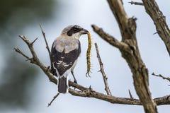 Lesser Grey Shrike en parc national de Kruger, Afrique du Sud image libre de droits