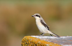 Lesser Grey Shrike juvenile Royalty Free Stock Photography
