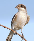 Lesser Grey Shrike, juvenile / Lanius minor Stock Photography