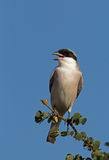Lesser Grey Shrike perched on twig. Lesser Grey Shrike; Lanius minor stock image