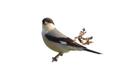 Lesser Grey Shrike (Lanius minor). Stock Image