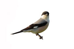 Lesser Grey Shrike (Lanius minor). Royalty Free Stock Photos
