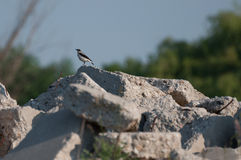 Lesser Grey Shrike (Lanius minor) male on a rock looking to the left Royalty Free Stock Photography