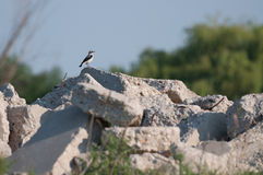 Lesser Grey Shrike (Lanius minor) male on a rock looking to the right Royalty Free Stock Photo