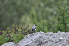 Lesser Grey Shrike (Lanius minor) male on a rock Stock Photography