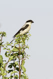 Lesser Grey Shrike  / Lanius minor Stock Images