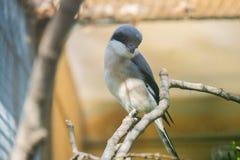 Lesser grey shrike looking at something intently, Laniu minor.  Royalty Free Stock Images