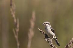 Lesser Grey Shrike on a Thistle Stock Photos