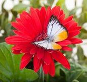 Lesser Gull Butterfly Immagini Stock