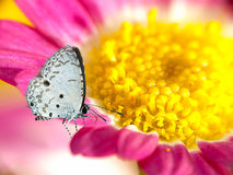 Lesser Gull Butterfly on Yellow Chrysanthemum Stock Photography