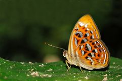 Lesser Harlequin butterfly. Of Thailand background Royalty Free Stock Photos