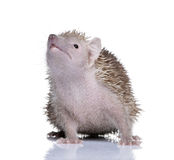 Lesser Hedgehog Tenrec against white background Royalty Free Stock Photography