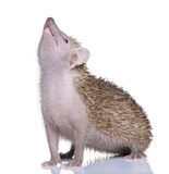 Lesser Hedgehog Tenrec - Echinops telfairi. Lesser Hedgehog Tenrec , Echinops telfairi in front of a white background, It is endemic to Madagascar royalty free stock images
