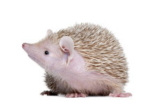 Lesser Hedgehog Tenrec - Echinops telfairi Stock Photo