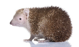Lesser Hedgehog Tenrec - Echinops telfairi Stock Photos