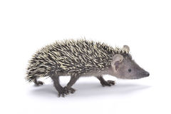 Lesser hedgehog tenrec (Echinops telfairi) Royalty Free Stock Images