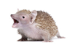 Lesser Hedgehog Tenrec with mouth open. Portrait of Lesser Hedgehog Tenrec with mouth open, Echinops telfairi, in front of white background Royalty Free Stock Images