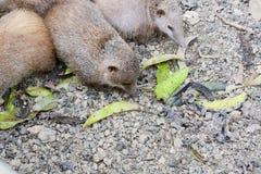Lesser Hedgehog Tenrec, telfairi del Echinops fotografía de archivo libre de regalías