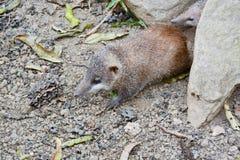 Lesser Hedgehog Tenrec, telfairi del Echinops fotos de archivo libres de regalías