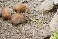 Lesser Hedgehog Tenrec, telfairi del Echinops imagen de archivo