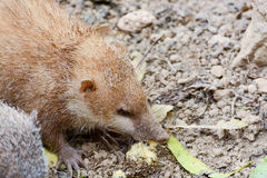 Lesser Hedgehog Tenrec, telfairi del Echinops fotografía de archivo