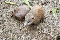 Lesser Hedgehog Tenrec, telfairi del Echinops Fotografia Stock