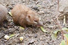 Lesser Hedgehog Tenrec, telfairi del Echinops imágenes de archivo libres de regalías