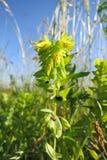 Lesser Honeywort (menor de Cerinthe) foto de archivo